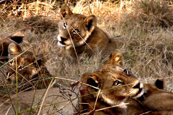 Three Lioness