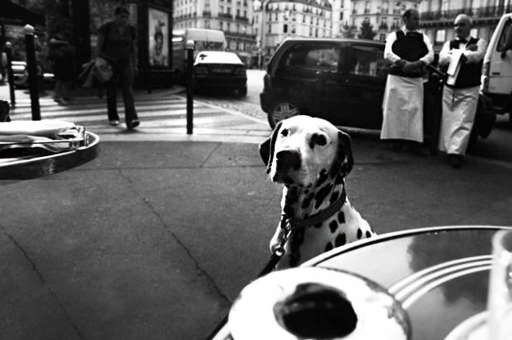 Dalmation at Cafe de Flore, Paris